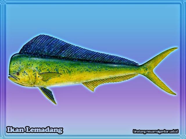 gambar ikan lemadang