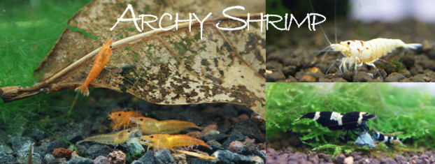 Archy Shrimp