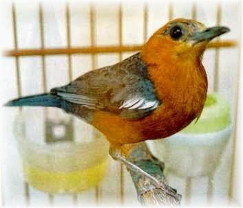 Foto Burung Anis Merah Jantan