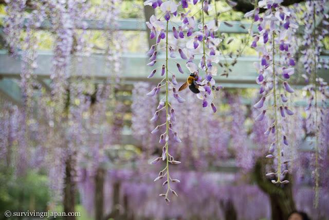 fuji matsuri, fujieda, Shizuoka, Japan, spring, May, wisteria, festival