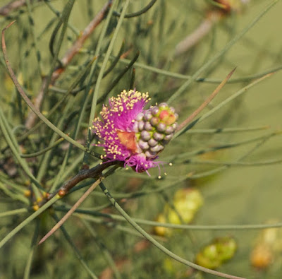 Wiry Honey-Myrtle (Melaleuca filifolia)
