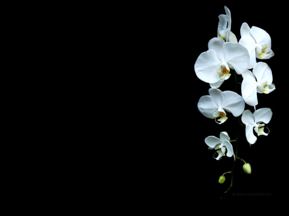 Orchid Wallpaper Collection 41