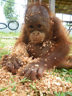 Karmilla the infant orangutan playing with the sawdust