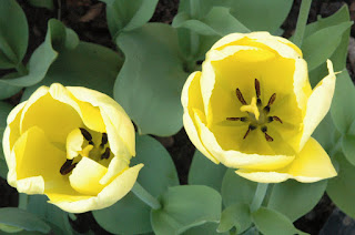 A close up of the darker yellow interior of an unknown variety of tulip.