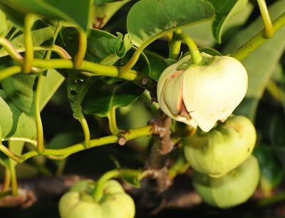 pond apple (Annona glabra)