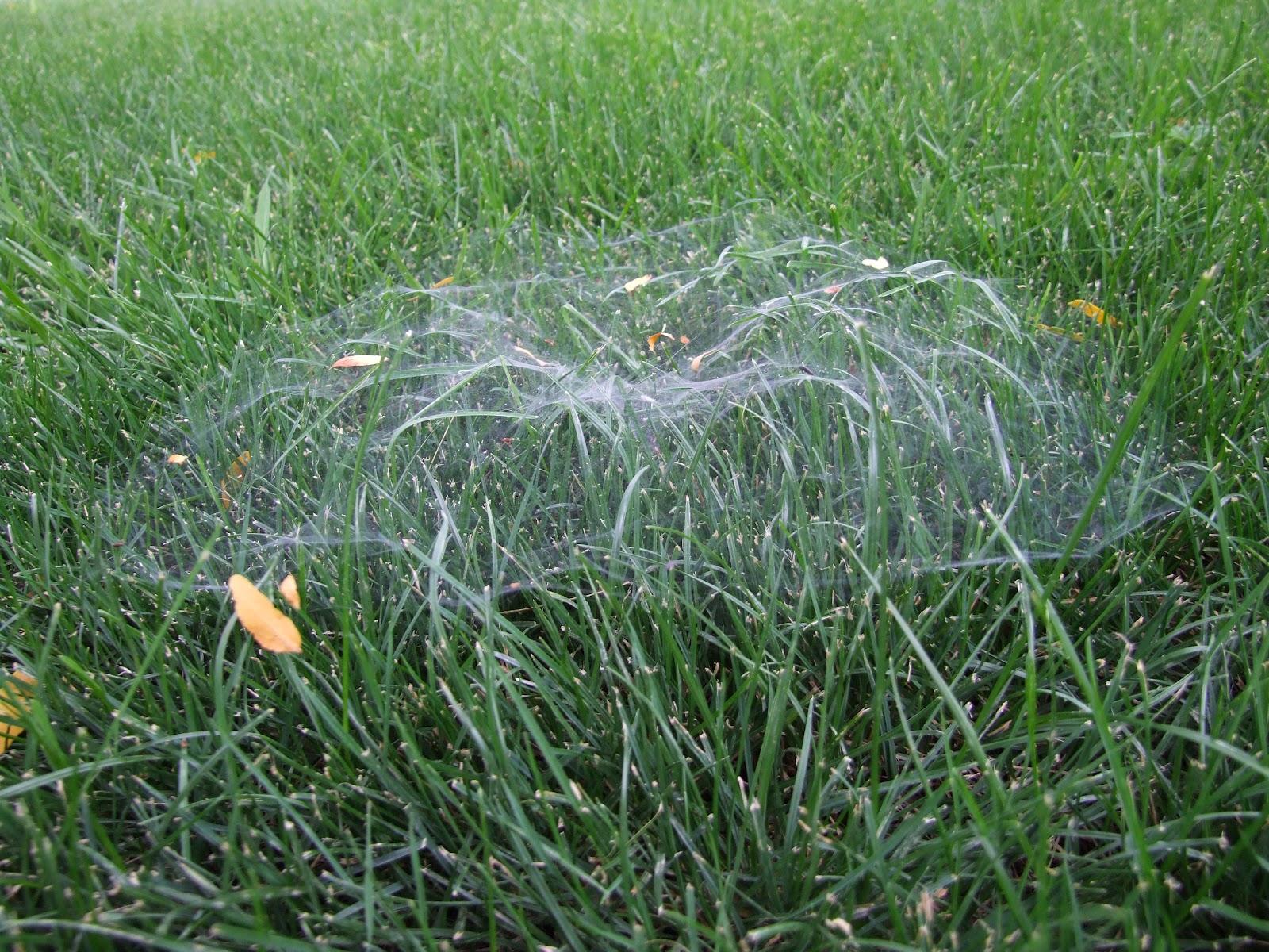 skunk tracks funnel weaver spider a k a grass spider