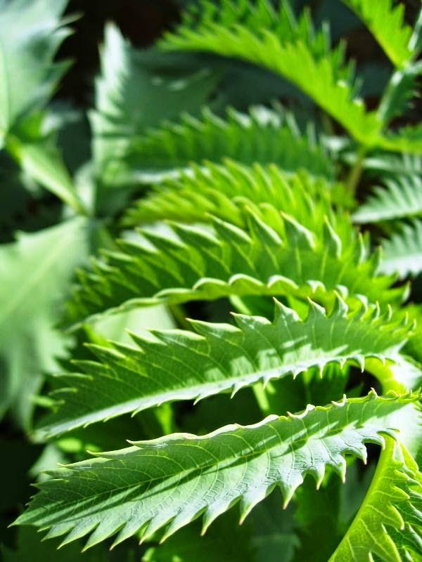 Serrated leaves