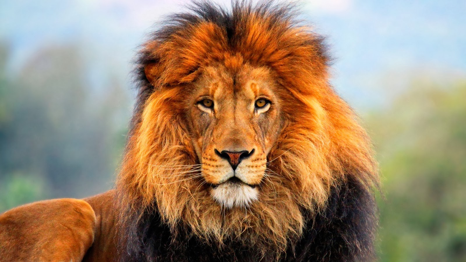 wildlife hd wallpapers: lions hd wallpapers (the king of jungle) 2014.