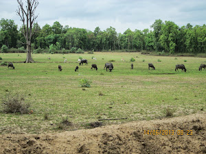 "Cattle grazing in the ""BUFFER XONE"" of Magdhi Zone"" in Bandhavgarh."
