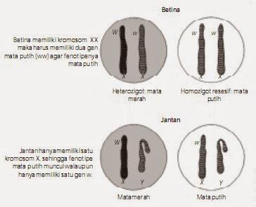 Kemungkinan letak gen W dan w pada kromosom seks lalat buah betina dan jantan