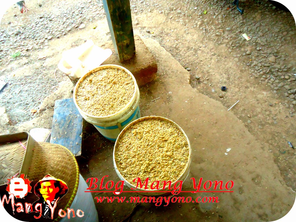 Perendaman bibit padi / gabah