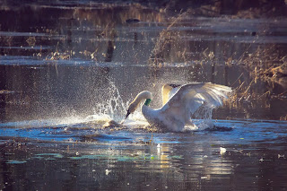 Fighting Trumpeter Swans