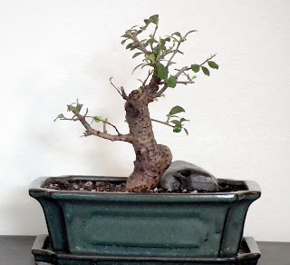 Sudowoodo bonsai(Fukien Tea)