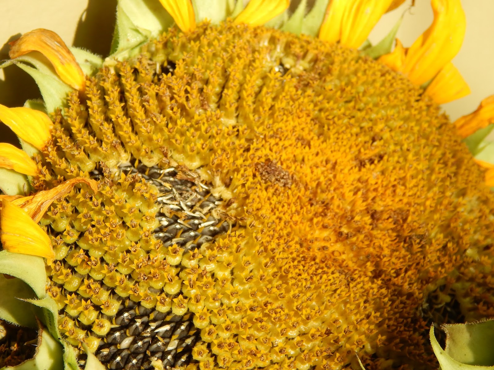 how to prepare sunflower seeds from the flower