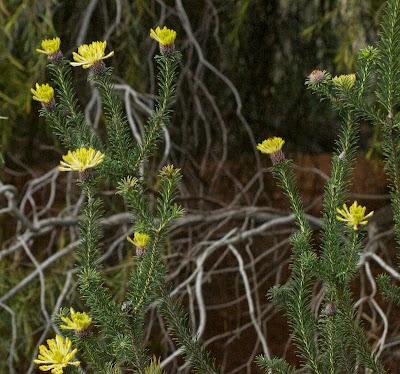 Silky Petrophile (Petrophile cf brevifolia)