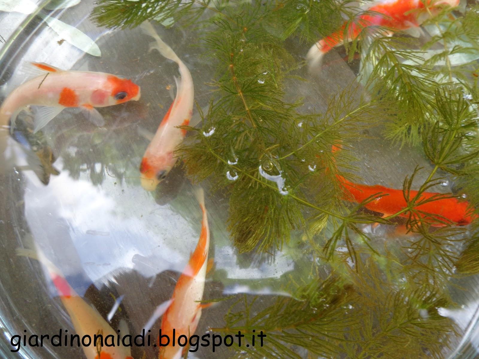 gambusia acquario- #images - Acquario Per Gambusie