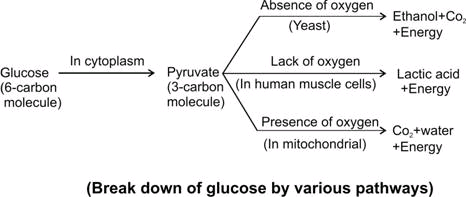 With The Help Of A Diagram Show That How Breakdown Of Glucose Done