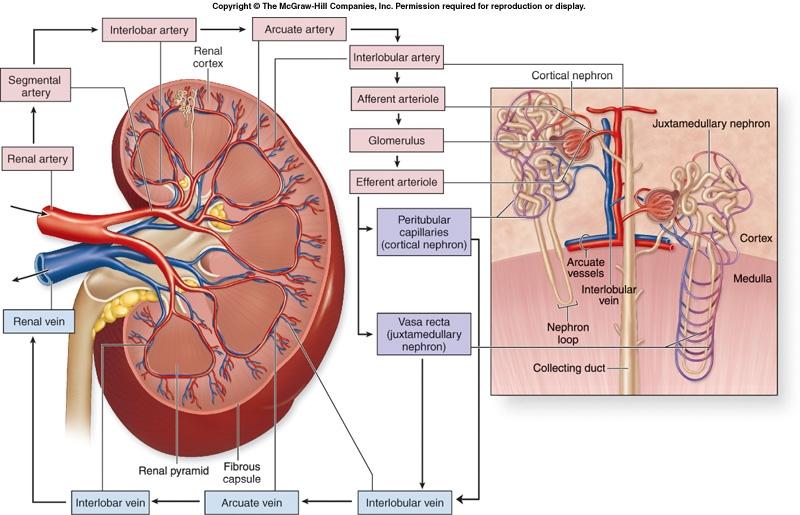 Kidney Blood Flow Diagram