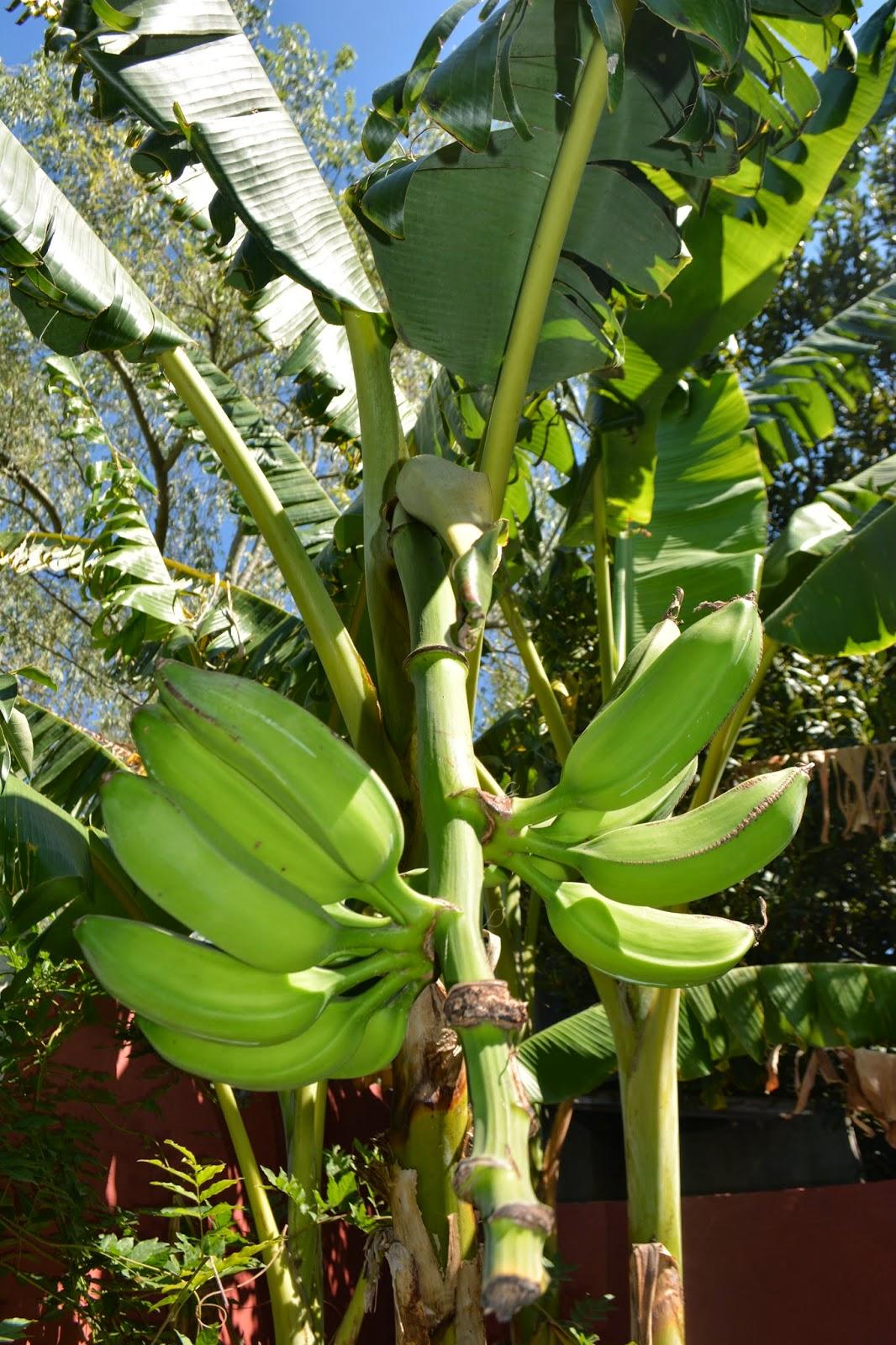 Bananas en zonas con heladas