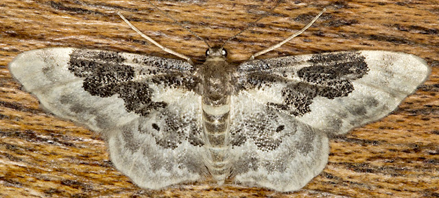 Least Carpet, Idaea rusticata atrosignaria.  Geometer.  Moths that arrived in the house on 15th August.