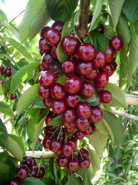 Саженцы плодовых деревьев, туи