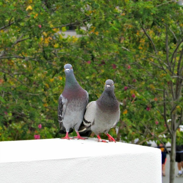 Jack London Square // Pigeon Couple