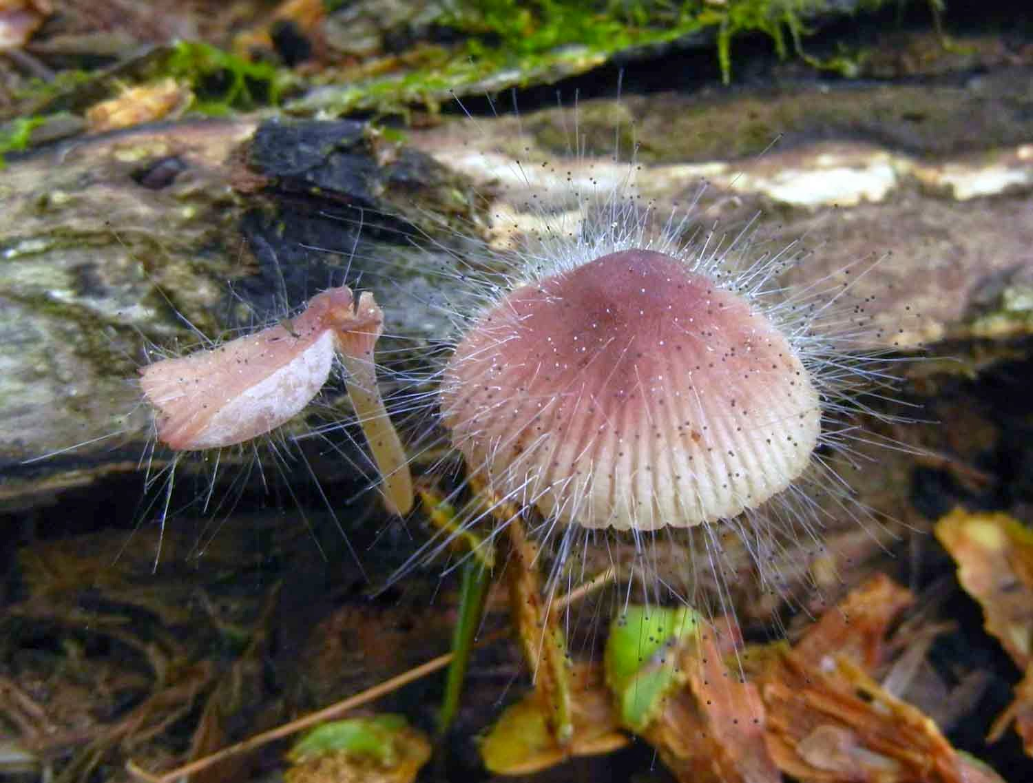 Mycena haematopus attacked by parasitic mold Spinellus fusiger