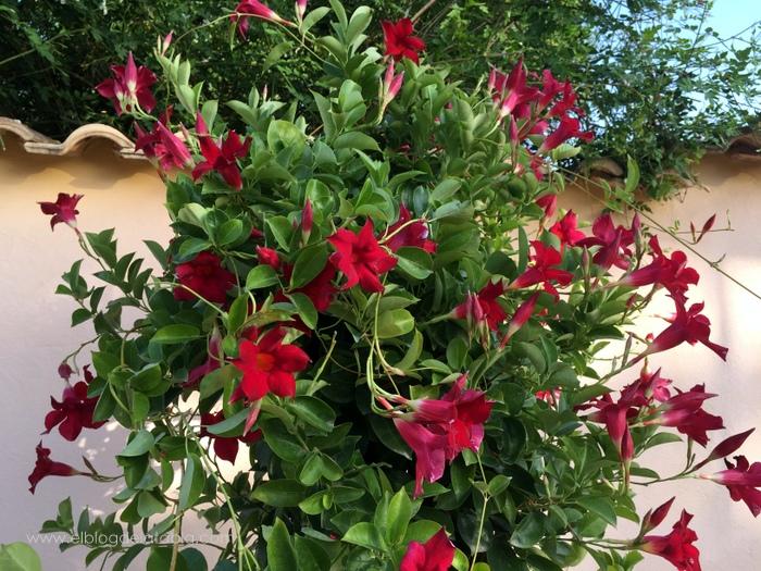 rojo para mandevilla hybrid