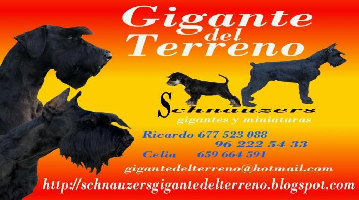 """""""Gigante del Terreno"""" Schnauzers"""