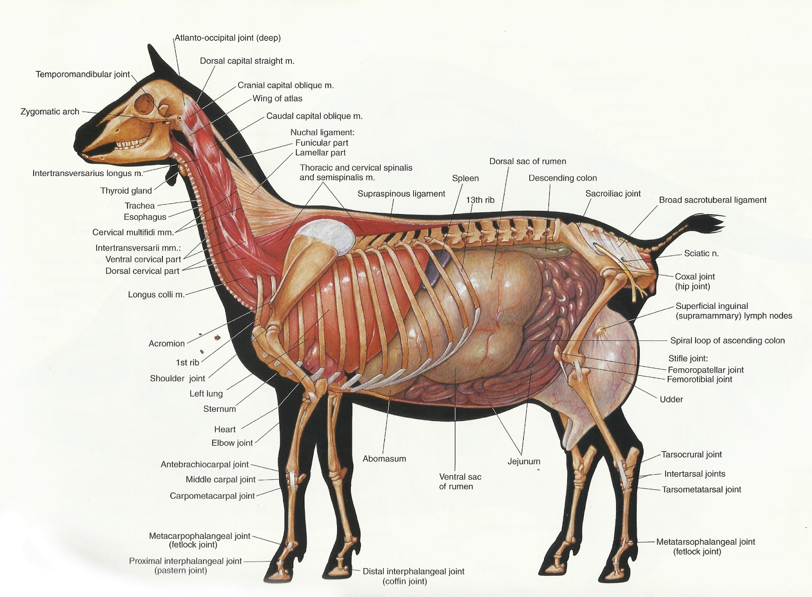 Goat reproductive anatomy