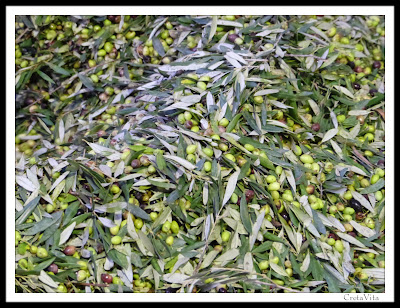 Collected Olives , Crete Island . Production Olvie Oil