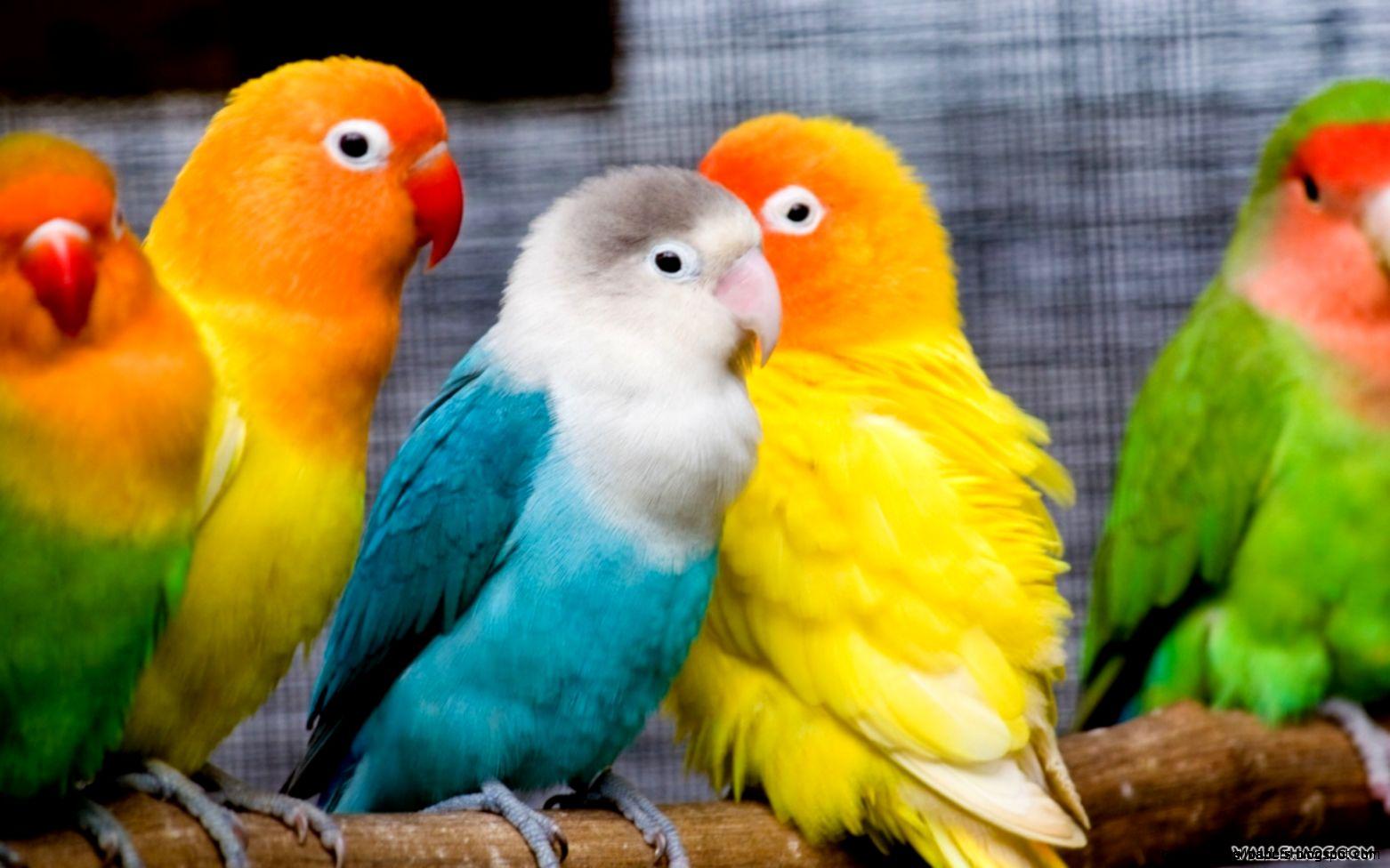 Free Love Birds desktop wallpaper 16801050