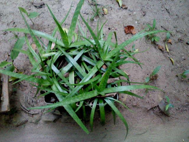 New Ranweli Spice Garden Sneak a Peek Aloe Vera