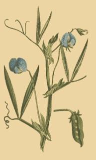 Chícharo, Lathyrus sativus