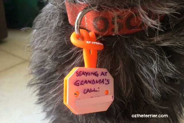 Oz the Terrier wears Twigo Tag while his pet parents travel