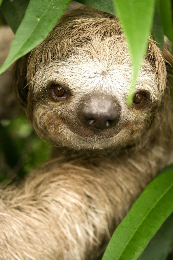 [Image: Three_Toed_Sloth_by_LeftyRodriguez.jpg]