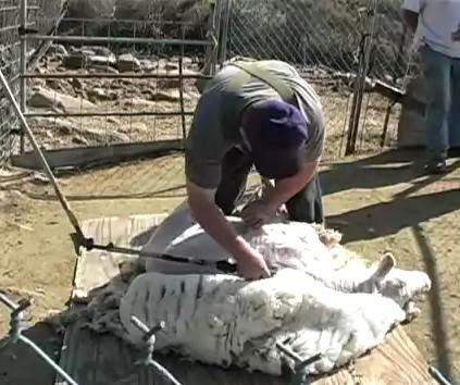 pemotongan bulu domba kambing