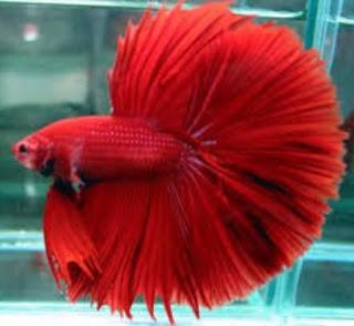 Tips Perawatan Ikan Cupang Aduan
