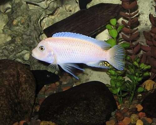 golden albino cichlid green terror heckel kadango cichlid malawi ...