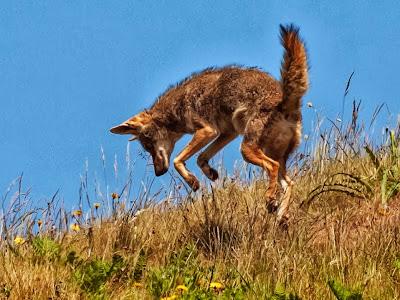 Brujita de cocina the dog wolf fox coyote - Cocinas wolf ...