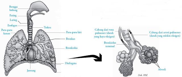 Struktur paru-paru manusia