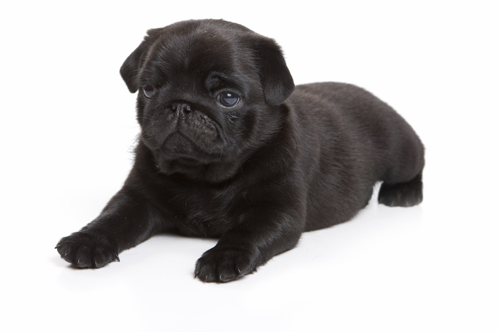 Cute Puppy Dogs Black Pug Puppies