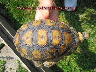 South African bowsprit tortoise