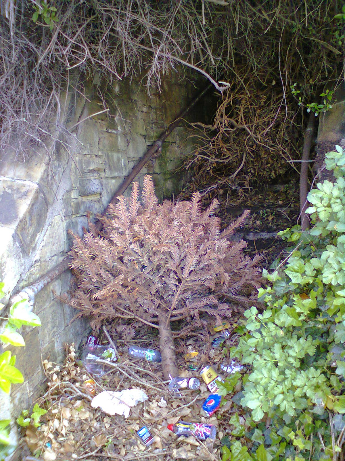 Christmas Tree dumped in Hastings and looking very un-Christmassy in May