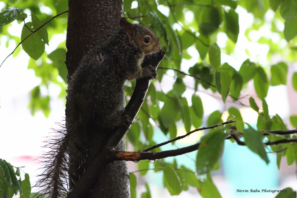 Squirrel searching for a shelter