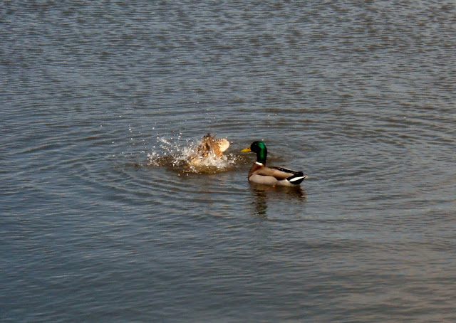 A pair of Mallard ducks at White Rock Lake, Dallas, TX