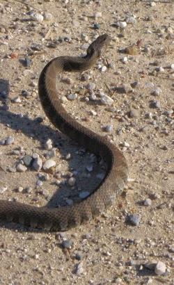 snake rearing up