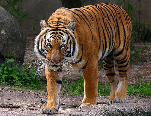 Y Tigers Are Endangered Five types of tigers a...