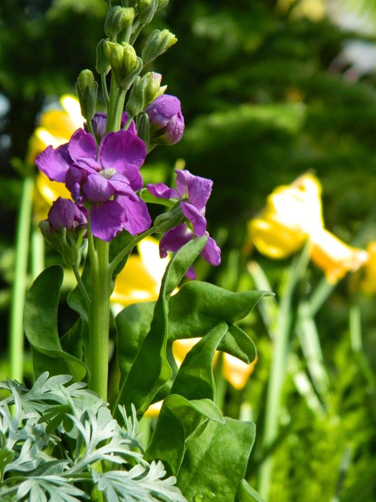 Verbascum phoeniceum 'Violetta' mullein Allan Gardens Conservatory 2015 Spring Flower Show by garden muses-not another Toronto gardening blog