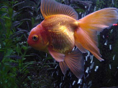 54796286ev0 Japon Balıkları